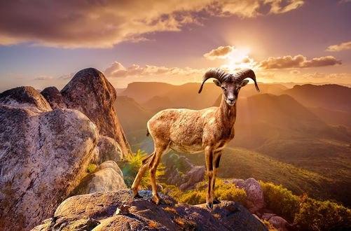 Обои На рассвете, когда первые лучи восходящего солнца касаются вершин горной долины, архар взбирается на гребень, что бы осмотреть местность