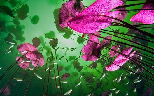 Обои Стебли лотосов с листьями и рыбки под водой