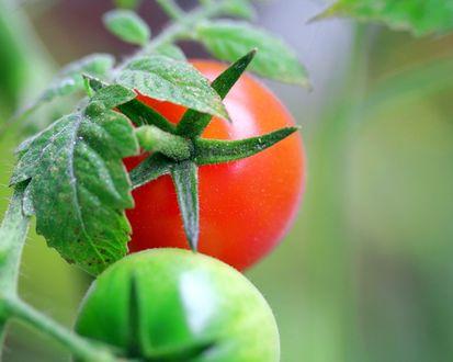 Обои Зеленый и красный помидор висят на одной ветке