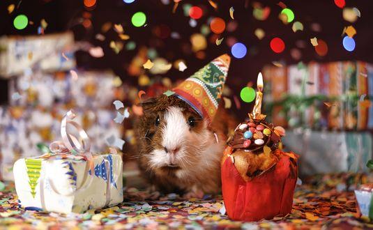 Обои Морская свинка празднует Новый год в праздничном колпаке, сидя рядом с подарком и кексом со свечкой