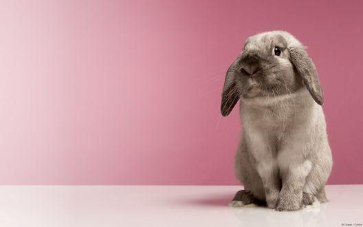 Обои Серый вислоухий кролик на фоне розовой стены