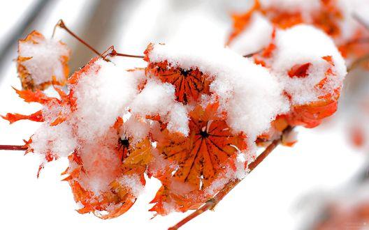 Обои Сухие желтые листья клена покрыты первым снегом