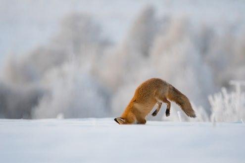 Обои Зимняя охота лисы за мышами, фотограф Дмитрий Вилюнов
