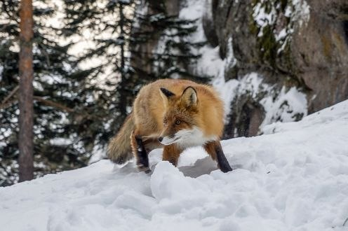 Обои Лиса на снегу, Лисица видит сыр, лисицу сыр пленил, фотограф Анатолич