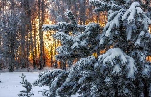 Обои Ель, покрытая снегом, на фоне леса, Зимняя раскраска, фотограф Анатолич