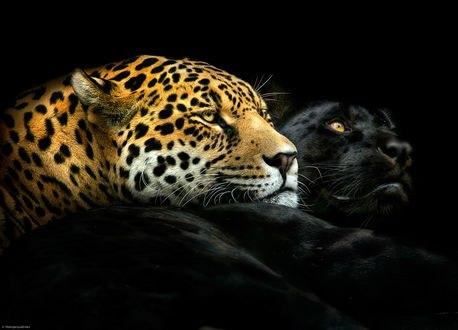 Обои Леопард и пантера лежат на черном фоне