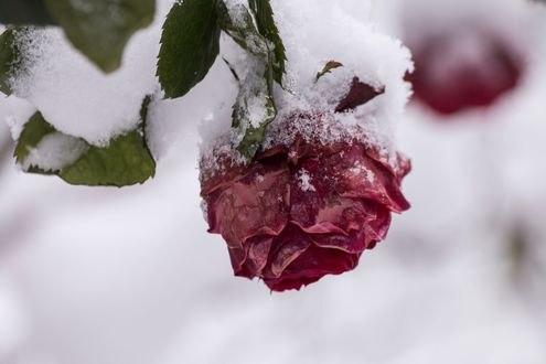 Обои Бордовая роза в снегу, фотограф Mehmet Kalkan