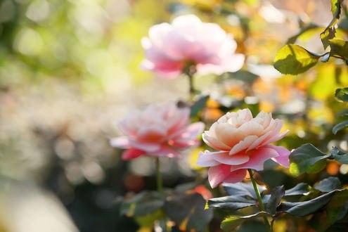 Обои Бело - розовые розы на размытом фоне