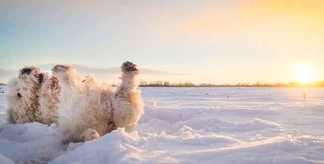 Обои Собака лежит на снегу, фотограф Somebody Anywhere