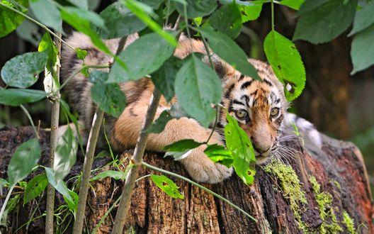 Обои Лежащий за ветками дерева тигренок