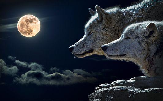 Обои Два волка на фоне полной луны