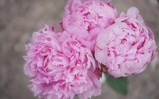 Обои Розовые пионы на размытом фоне
