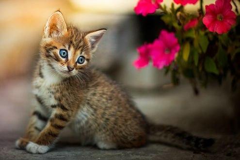 Обои Голубоглазый котенок у цветов петунии, фотограф Коротун Юрий
