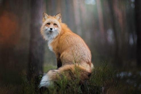 Обои Рыжая пушистая лиса на природе, фотограф Iza Łysoń