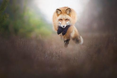 Обои Рыжая лиса в прыжке, фотограф Alicja Zmysłowska