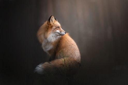 Обои Рыжая лиса смотрит в сторону, фотограф Alicja Zmysłowska