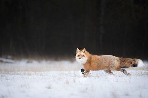 Обои Рыжая лиса идет по снегу, фотограф Alicja Zmysłowska