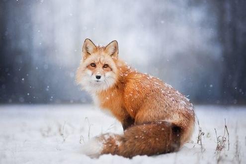 Обои Рыжая пушистая лиса под падающим снегом, фотограф Iza Łysoń