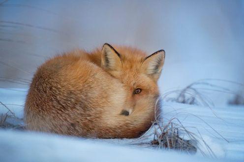 Обои Лиса свернулась клубочком и лежит на снегу