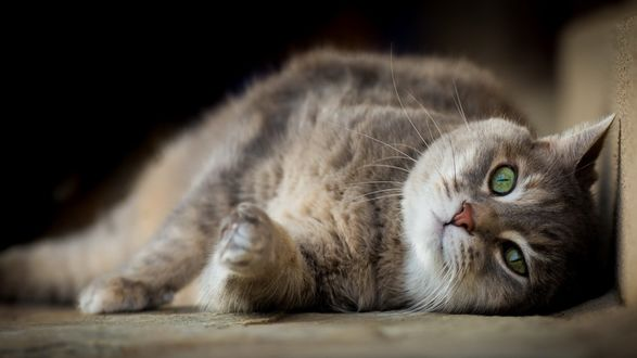 Обои Толстый кот лежит на полу