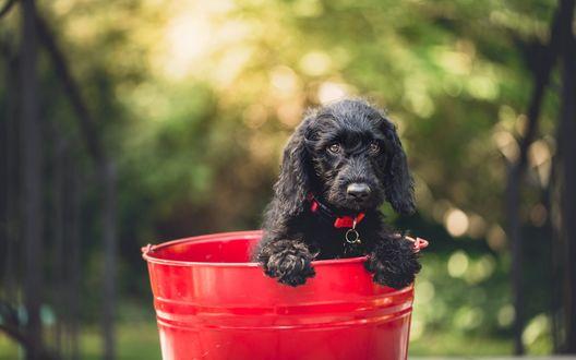 Обои Черный щенок в ошейнике сидит в красном ведре