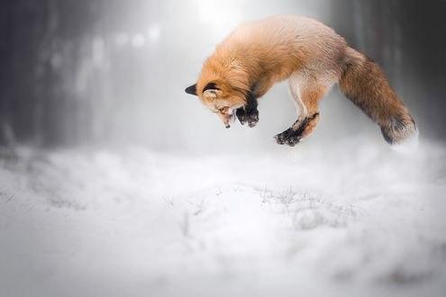 Обои Лиса в прыжке над снегом, фотограф Alicja Zmysłowska