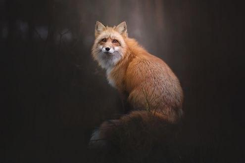 Обои Рыжая лиса смотрит вперед, фотограф Alicja Zmysłowska