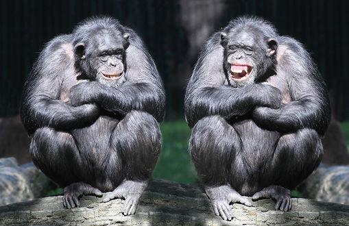 Обои Две обезьяны смеются над только им понятными шутками