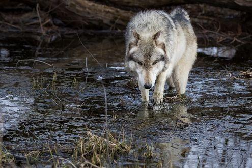 Обои Отощавший волк бредет по болоту