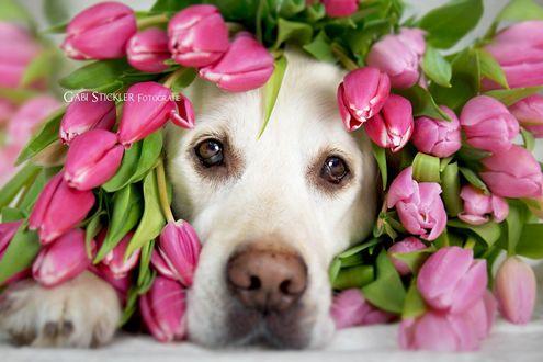 Обои Морда собаки породы лабрадор в тюльпанах, фотограф Gabi Stickler