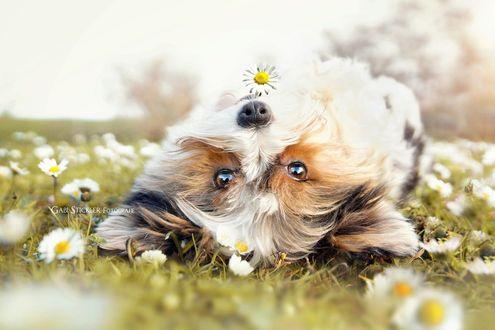 Обои Собака лежит на поляне с ромашками, фотограф Gabi Stickler