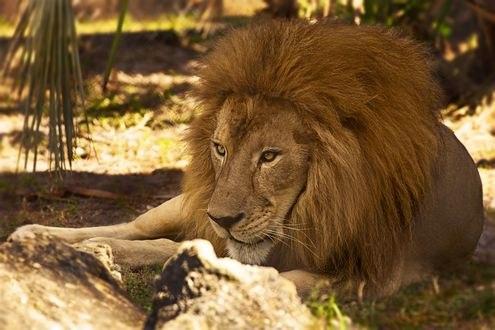 Обои Лев лежит на земле, by Kendra-Paige