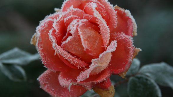 Обои Роза в кристаллах льда