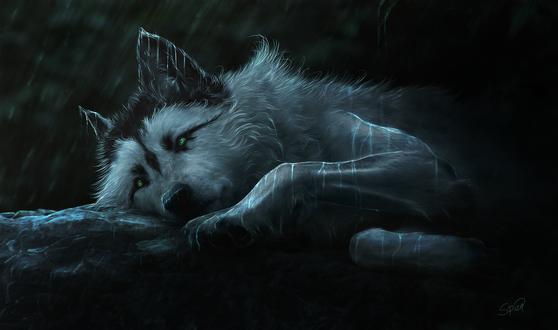 Обои Зеленоглазый волк лежит под дождем, by Amphispiza