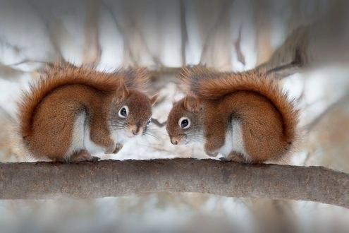 Обои Две белки сидят друг напротив друга, фотограф Andre Villeneuve
