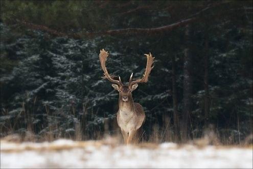 Обои Олень вышел из леса, фотограф Влад Соколовский