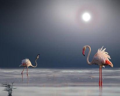 Обои Фламинго стоят в воде, фотограф atit
