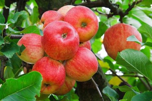 Обои Яблоки на ветке