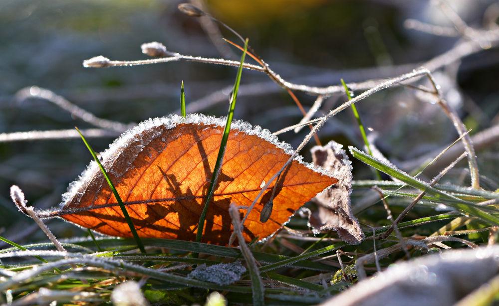 Обои для рабочего стола Листок на траве в измороси, фотограф Неля Рачкова