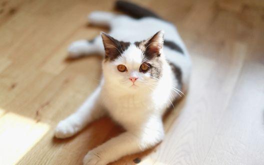 Обои Белая кошка отдыхает на полу и смотрит в камеру