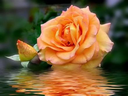 Обои для рабочего стола Чайная роза красиво отражается в воде (© 16061984),Добавлено: 04.02.2017 14:31:41