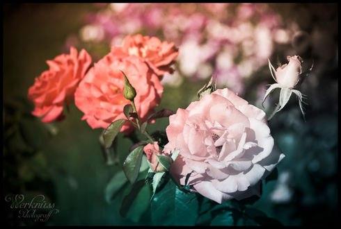Обои Розовые и нежно розовые розы, фотограф Florian Bokeh