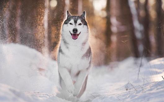 Обои Хаски бежит по снегу
