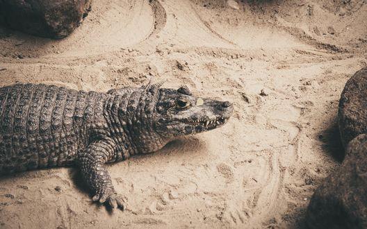 Обои Крокодил на пляже