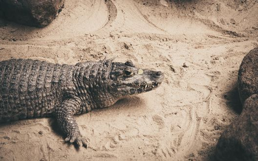 Крокодил на пляже 85