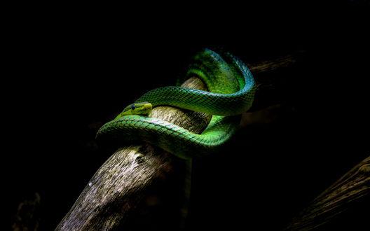 Обои Змея на ветке дерева