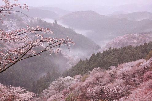Обои Цветущая ветка на фоне великолепного пейзажа, автор @pomeoooo
