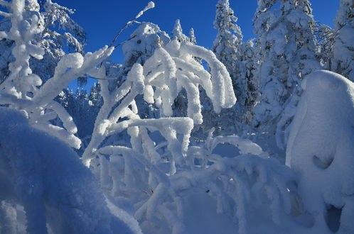 Обои Пушистые ветви деревьев в снегу, фотограф VESNUSH