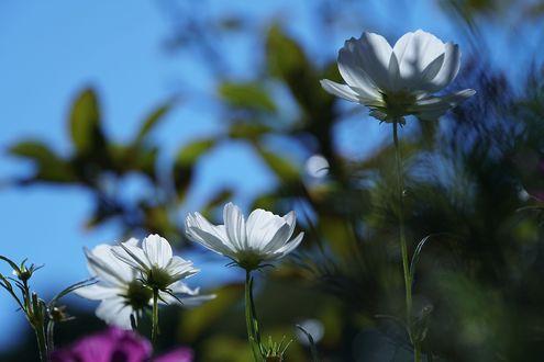 Обои Белые цветы космеи на фоне неба, фотограф Keiko Yamamoto