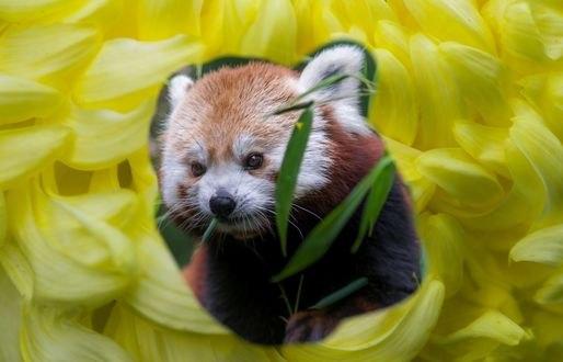 Обои Панда в окружении цветка, фотограф Toshihiro -Bill- Shoji